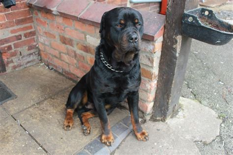 rottweiler stud wanted proven rottweiler stud stafford staffordshire pets4homes