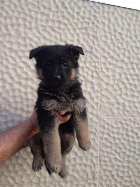8 week german shepherd puppies for sale german shepherd 8 weeks ready now nottingham nottinghamshire