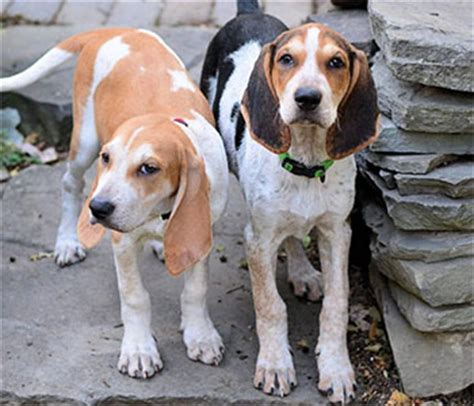 american coonhound puppies american coonhound puppies www pixshark images galleries with a bite