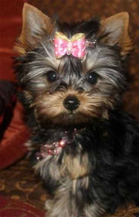 yorkie hair bows for sale teddy yorkie haircut teacup yorkie puppies available for sale akc registered