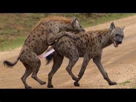 powerful documentary hyena is notorious national