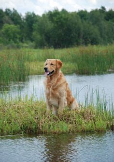 labrador vs golden retriever difference golden retriever vs labrador retriever difference and comparison breeds picture