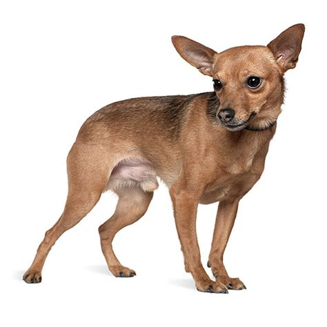 breeds m breeds starting with the letter m miniature pinscher mastiff breeds picture