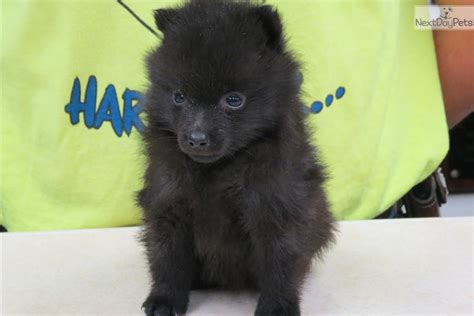 schipperke puppies schipperke puppy dogs breeds picture