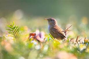 what do wrens eat