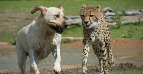 golden retriever network golden retriever and cheetah columbus zoo released news network
