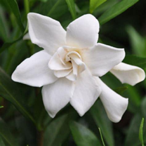 pot frost proof gardenia  evergreen shrub