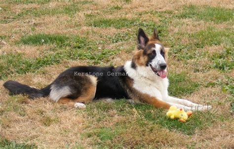 german shepherd colors quot panda quot shepherd a german shepherd with a genetic