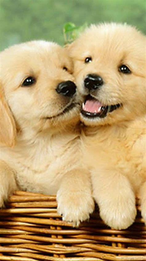 wallpaper cute puppies iphone    dog
