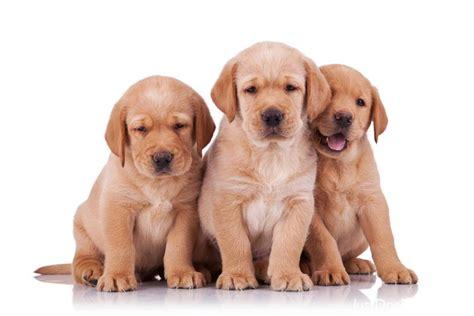 just breeds golden retriever dsgolden retriever jpg golden retriever breeds