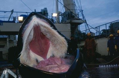 ling balene