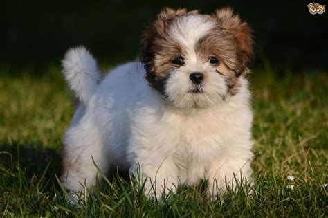 lhasa apso puppy lhasa apso breed information buying advice photos and facts pets4homes