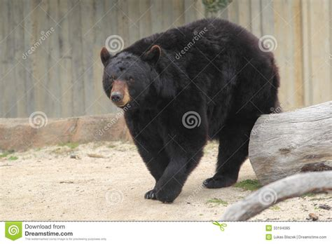 imagenes oso negro oso negro americano foto de archivo libre de regal 237 as