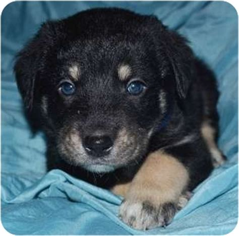 rottweiler and great pyrenees mix merlin adopted puppy tulsa ok great pyrenees rottweiler mix