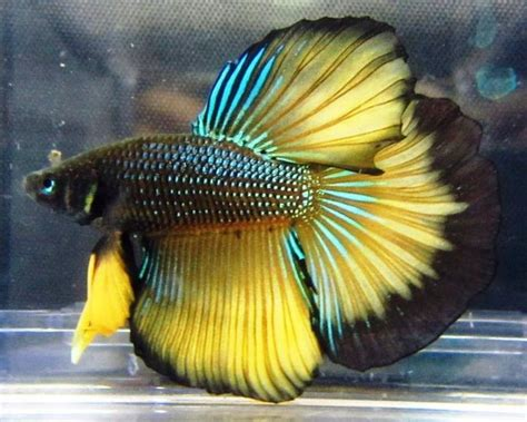 Barbel Warna Ikan Hias Mei 2012