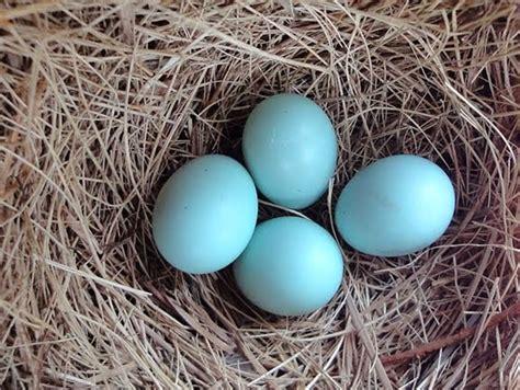 what color are blue eggs hybrid birder eastern bluebird egg color