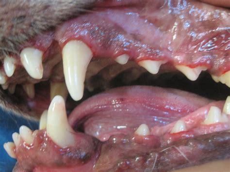 puppy canine teeth dental