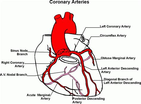 diagram of the arteries coronary disease symptoms arteries pictures