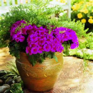florist cineraria winter flowers color sunset