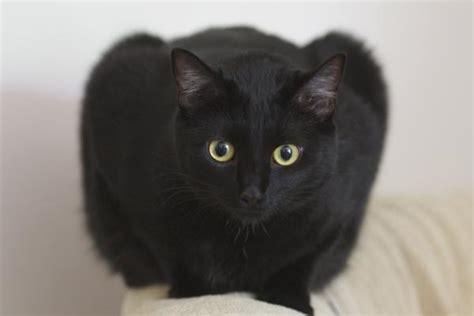 El gato Bombay   Taringa!