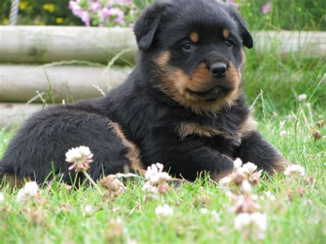 rottweiler bred for rottweiler puppies bred for size and temperament daventry northtonshire