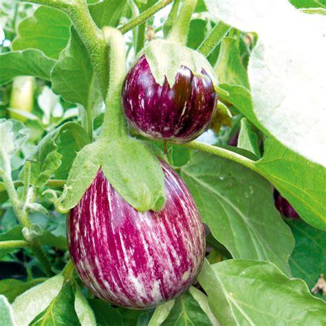 aubergine pinstripe   vegetable plants vegetable