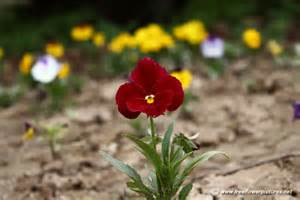 Flower Plants by Pansy Plant Picture Flower Pictures 1201
