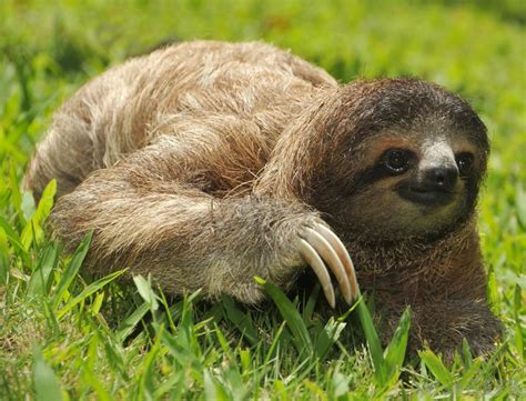 what are the pros and cons of keeping a pet sloth