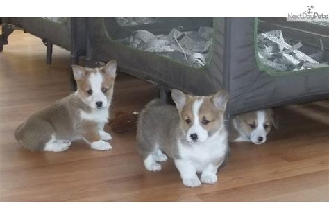 corgi puppies for sale nj corgi puppies for sale in new jersey breeds picture