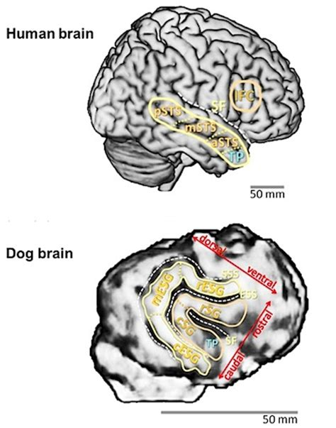 do dogs brains scientists find striking similarities between human and brains gizmodo australia