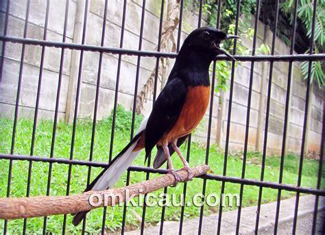 Kaki Genjot Mesin Kepala Hitam memilih burung murai batu burung master
