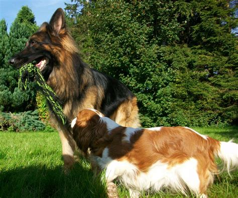 coat german shepherd puppies for sale haired german shepherds puppies for sale carlisle cumbria pets4homes