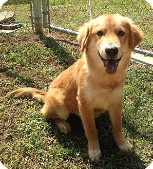 golden retrievers in ct cheshire ct golden retriever mix meet charisma a puppy for adoption
