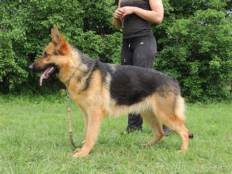 personal protection dogs for sale rottweiler k9s for sale personal protection dogs