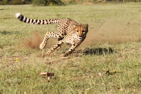 Turns Cheetah by Big Namibia Day 3 Run Cheetah Run