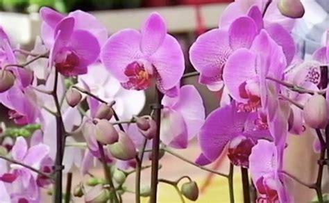 orchidee come farle fiorire orchidee come curarle e annaffiarle per dei fiori da