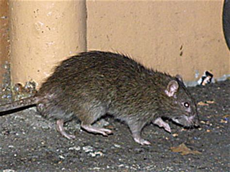 hundreds of large, feral rats found in new mexico
