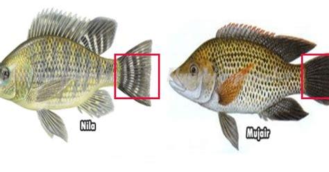 cepat membedakan ikan mujair  ikan nila dilihat