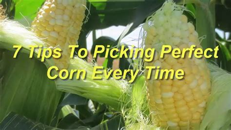 7 tips to picking corn every time
