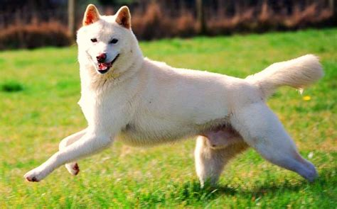 korean jindo puppies breeds the korean jindo characteristics dogalize