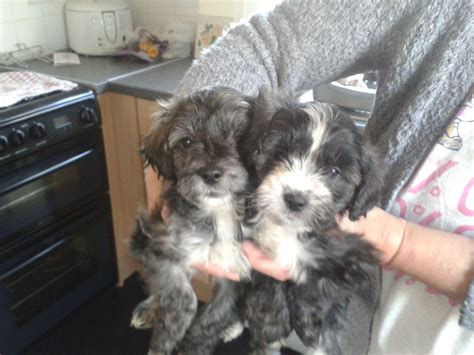 poodle cross yorkie yorkiepoos yorkie cross poodle pups ready now erith kent pets4homes