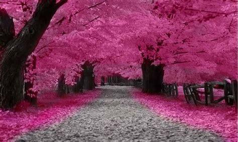 musim bunga sakura  jepang