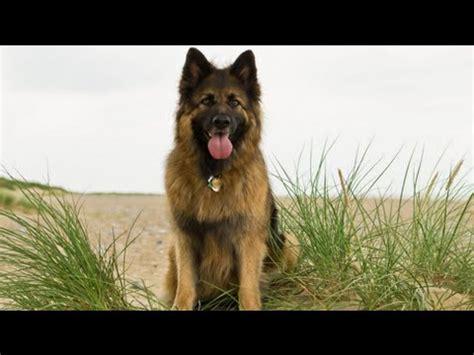 dogs that look like german shepherds 10 dogs like german shepherd