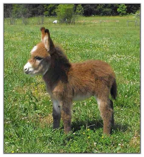 miracle of the century a baby donkey comes out of womb image gallery midget donkey