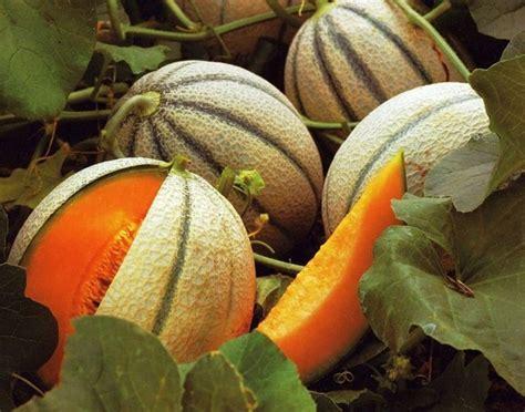 coltivare meloni in vaso coltivare meloni coltivare orto come coltivare meloni