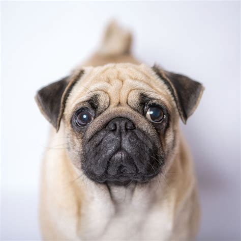 can pugs be trained breed of the week pug nation