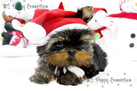 teacup yorkie breeders in ny new york teacup puppies for sale