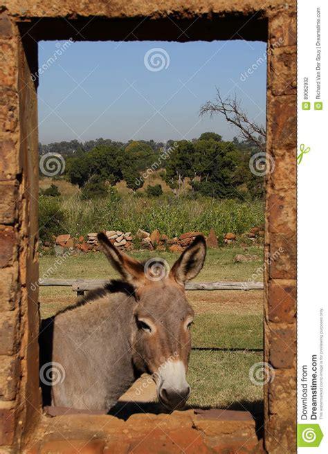 ein kleiner stall ein kleiner grauer esel in einem stall stockfoto bild