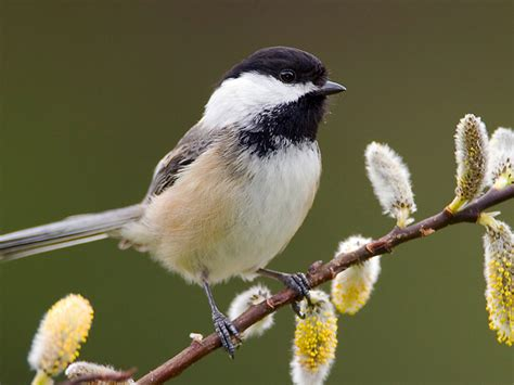 winter for black capped chickadees finger lakes land trust