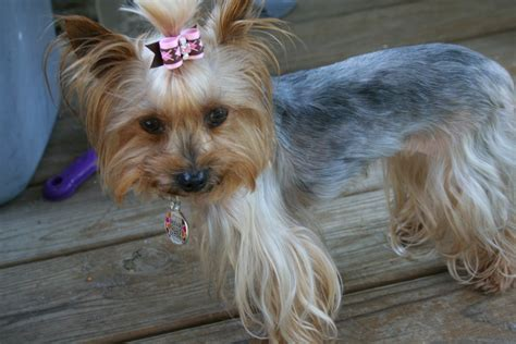 male yorkie haircuts haired yorkie cut hairstyles for yorkie male